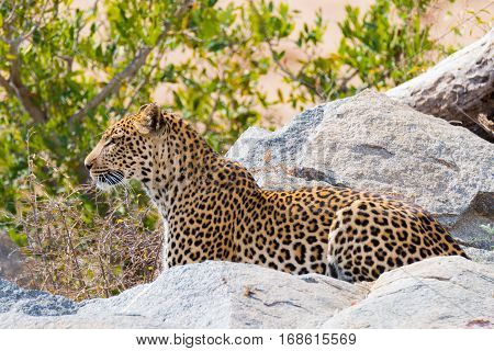 Big Leopard in attacking position ready for an ambush between the rocks and bush. Kruger National Park South Africa. Close up.