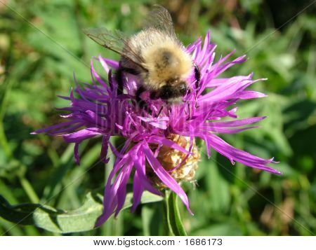 Bumblebee On A Thistle