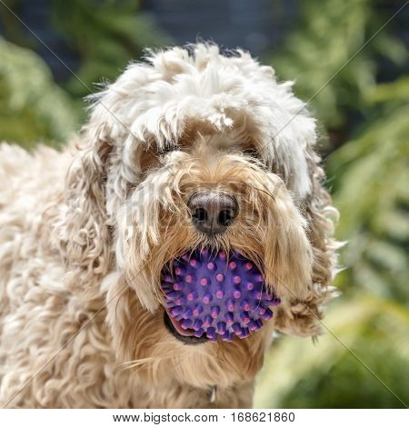 Shaggy cockapoo or spoodle dog with ball.  Mix of poodle and cocker.  Portrait with blurred background.