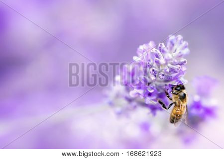 Lavender with honey bee.  Soft focus, blurred background.  Lots of copy space.