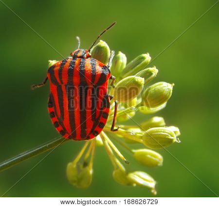 a smal shield bug on the dill flower