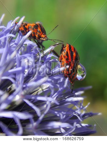 two shield bugs on the violet flower