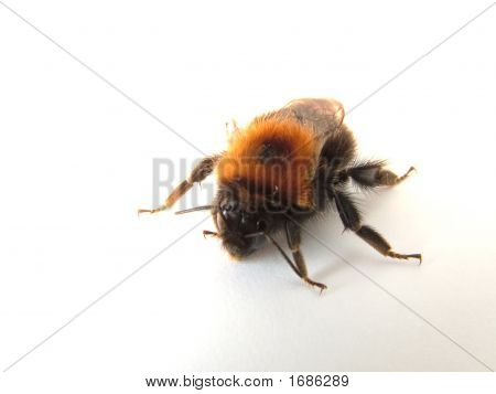 Bumblebee, Yellow And Shaggy