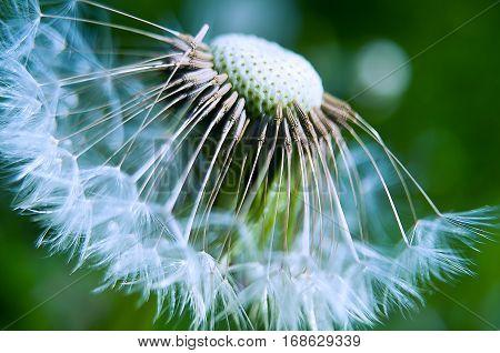 Gentle Dandelion fluff macro outdoors  beautiful detail,