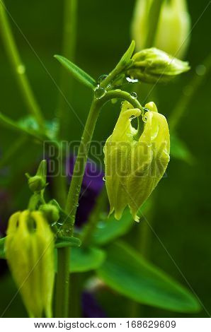 Aquilegia flower elves that blooms outdoors in beautiful summer day