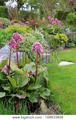 Beautiful spring flowering rock garden. Bergenia Cordifolia also know as Elephant ears and Euphorbia Polychroma  also known as Spurge.