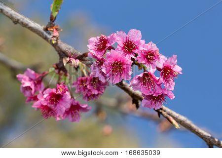 Wild Himalayan cherry blooming (Prunus cerasoides) on blue sky. Chiangmai, Thailand