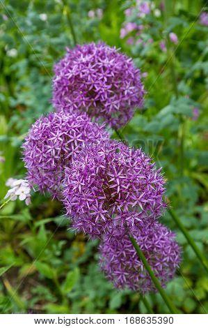 A Purple Snowball Flower in a Garden