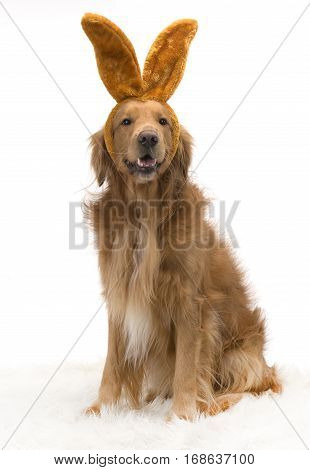 Bunny Golden Retriever dog with bunny ears on white background.