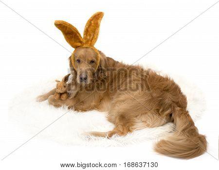 Bunny Golden Retriever dog with bunny ears isolated on white.