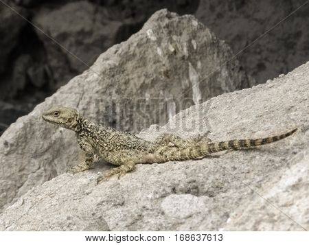 Small inconspicuous lizard sitting on a stone