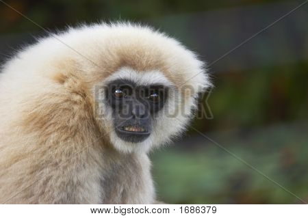 Black Faced Capuchin Monkey