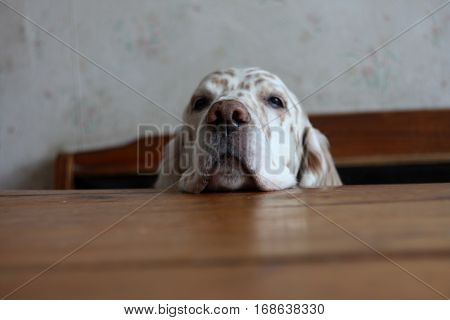 Where is my food? Cute dog face begging for food, english setter close up head on the table