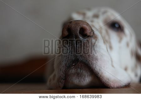 Dog nose on the table close up, textured background of english setter nose
