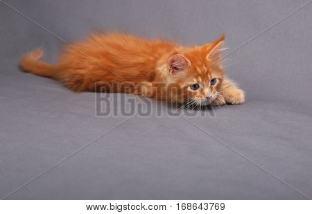 Playful Red Solid Maine Coon Kitten With Hunting Look And Beautiful Brushes On The Ears On Grey Back