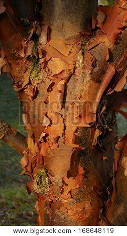 Peeling red / orange bark of the paperbark maple tree (acer griseum)