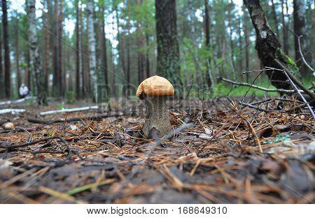 Gathering mushrooms. Leccinum mushroom mushroom photo forest photo forest mushroom forest mushroom photo. Mushroomer gathering mushrooms.Mushroom hunting. Gathering Wild Mushrooms. poster