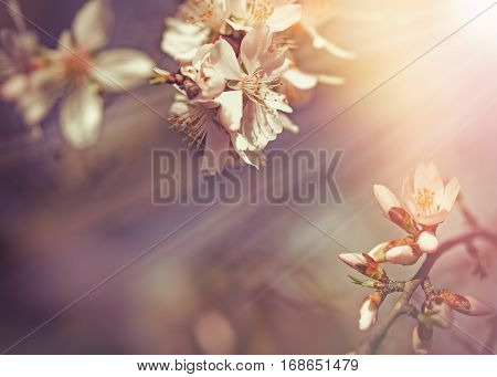 Selective focus on beautiful flowering, blooming fruit tree lit by sun rays