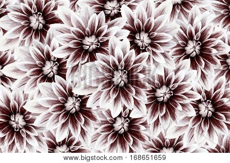 flowers dahlias white-vinous. flowers background. floral collage. flower composition. Nature.