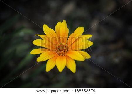 Single daisy flower in a green field under soft light