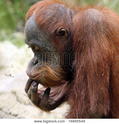 Meditating orangutan in ZOO Prague - Czech Republic Europe