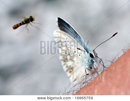Unwonted situation rare butterfly Polyomnatus Icarus and Episyrhus Balteatus on skin