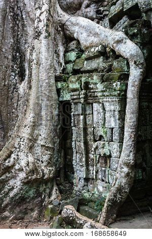 Ta Prohm temple with giant banyan tree