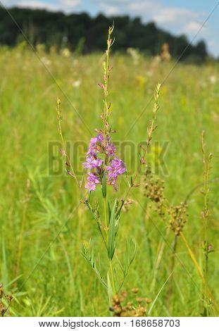 Chamerion angustifolium commonly known as fireweed great willowherb rosebay willowherb is a perennial herbaceous tea plant. Herbal tea.