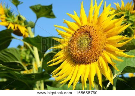 Sunflowers. Close up on Isolated Sunflower with Copy Space. Helianthus or sunflower with sunflower field and blue sky background