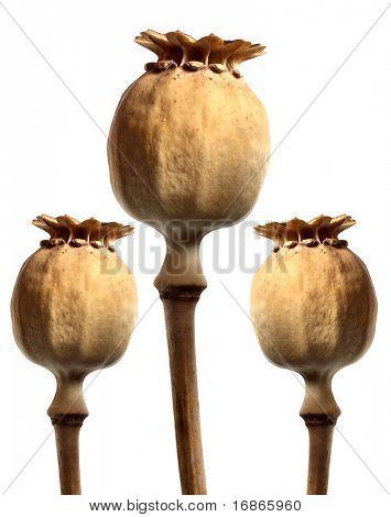 Three Opium poppyhead - isolated