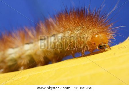Caterpillar on yellow leaf - closeup poster