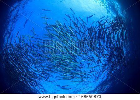 Underwater ocean and fish, School of Barracuda fish in sea. Blue water background