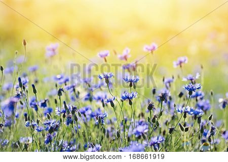 Summer landscape with wildflowers cornflowers in the rays of the sun