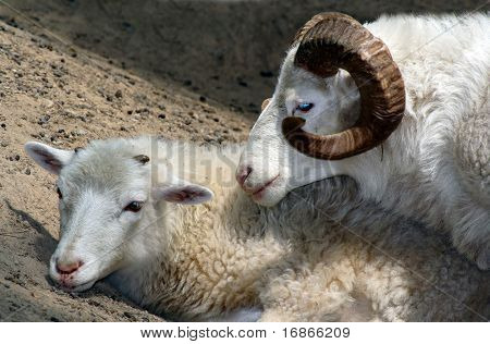 Sheepish Love