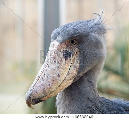 Rare african whale-headed stork - Balaeniceps rex