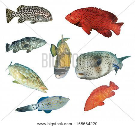 Reef fish isolated. Indo-Pacific Ocean fish collection on white background
