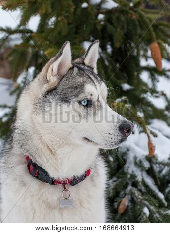 Closeup portrait of a dog breed Siberian Husky in the background of snowy trees. This dog has two different colored eyes blue and brown.