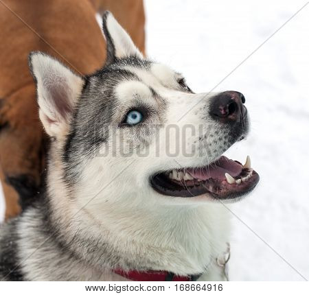 Closeup portrait of a dog breed Siberian Husky in the Russian snow. This dog has two different colored eyes blue and brown.