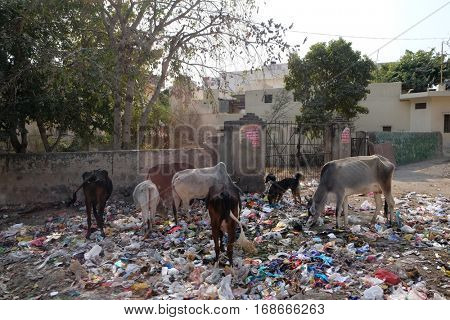 JAIPUR, INDIA - FEBRUARY 16: Animals in trash heap in in Jaipur, Rajasthan, India on February 16, 2016.