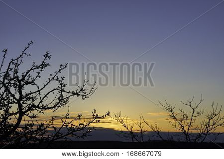 Winter trees silhouetted against a light blue and gold sky before sunrise