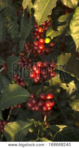 Branch of coffee beans in an organic plantation