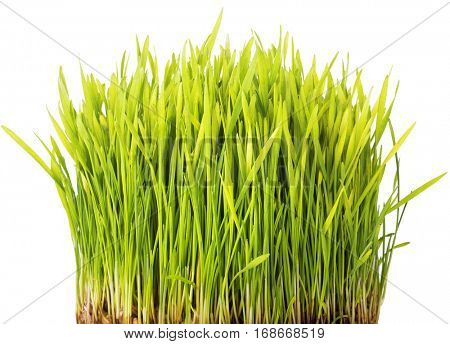 Wheat sprouts isolated on white background.