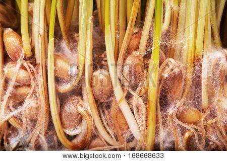 Sprouted wheat closeup.
