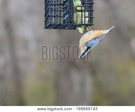 Red-breasted Nuthatch (Sitta carolinensis) hanging upside down on a suet feeder.