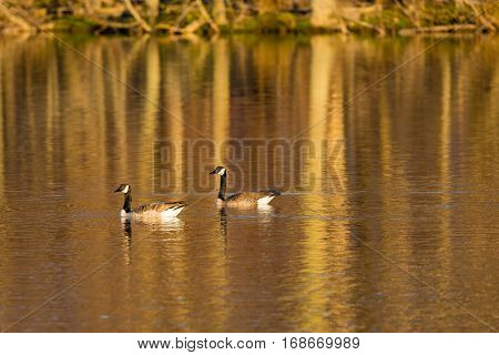 Canada Goose (branta canadensis) swimming on a lake with reflections of the trees in the background.