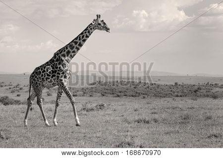 A large bull giraffe walks across the Masai Mara landscape of Kenya in sepia