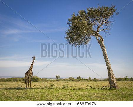 An iconic view of Kenya's Masai Mara National Park with a lone giraffe next to a lone acacia tree