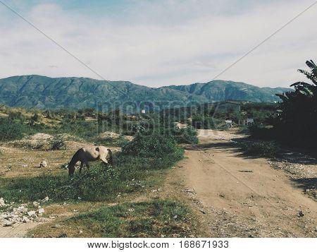 St. Ard, Haiti. 11/5/13. Horses grazing in Haiti.
