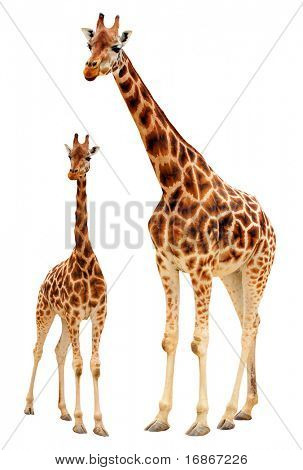 Two giraffes - isolated object