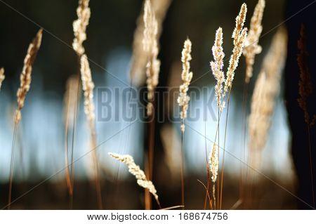 grass spikelets at sunset macro.Yellow grass close up